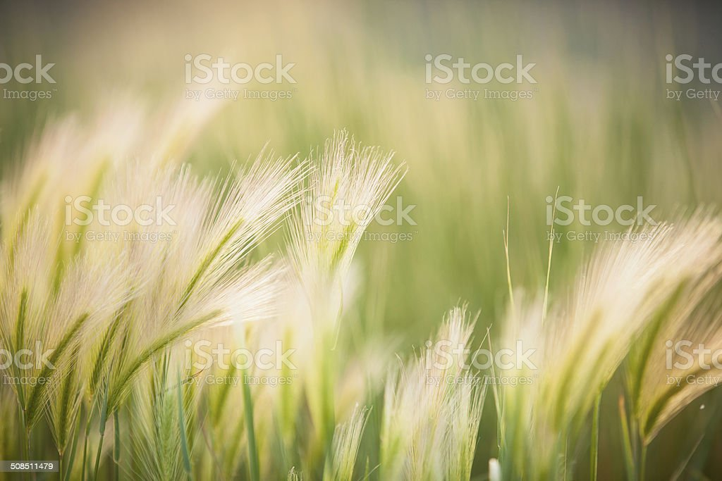 Blowing Grasses stock photo