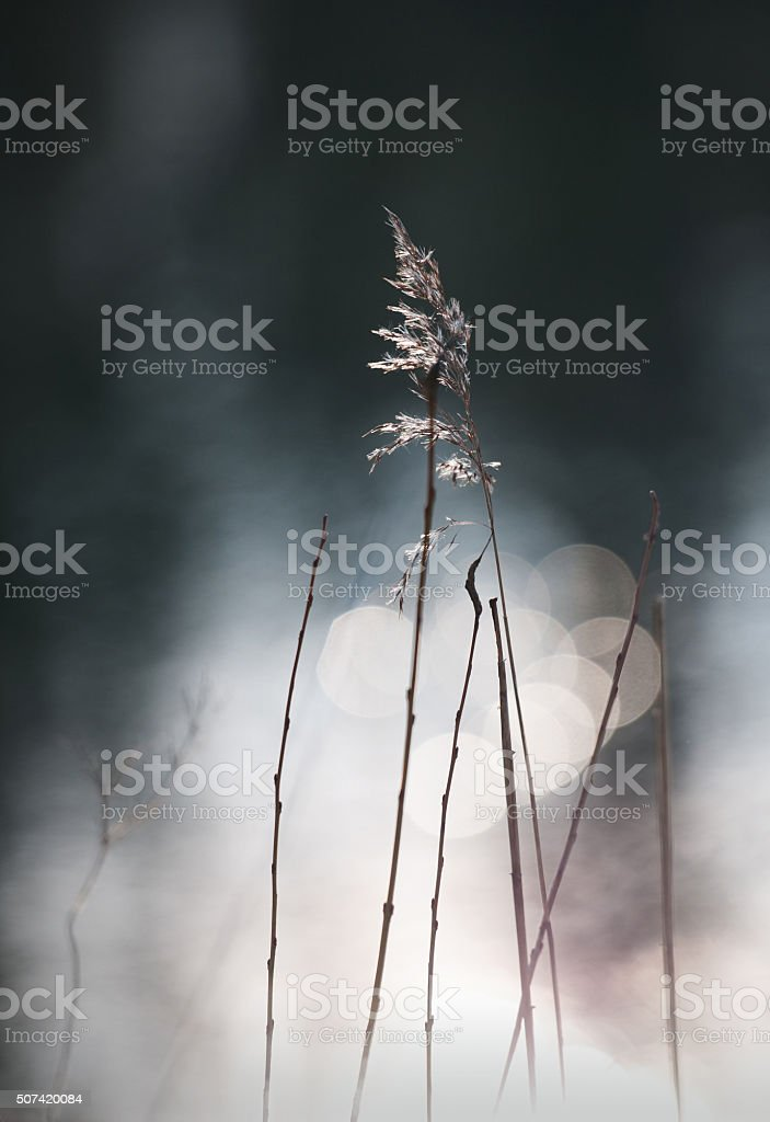 blowing water sedge with bokeh stock photo