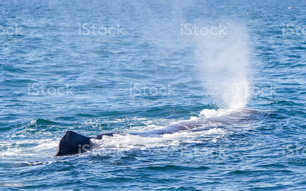 Blowout of a large Sperm Whale near Iceland stock photo
