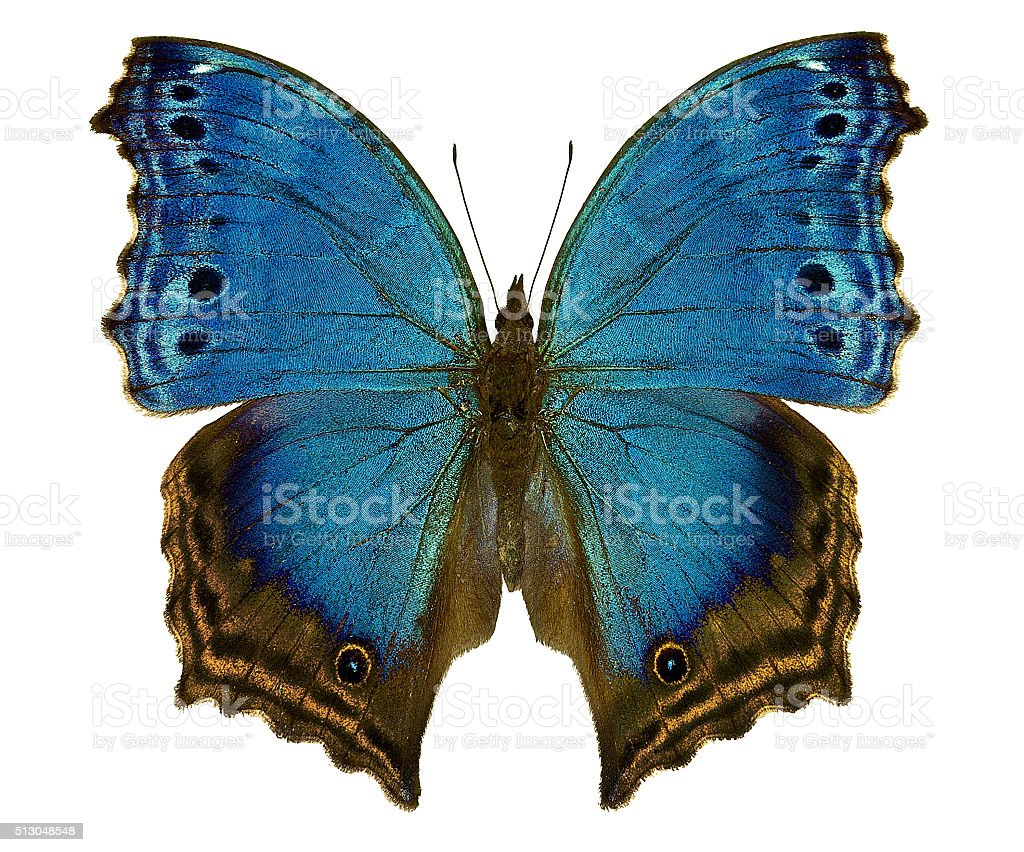blue african butterfly Salamis temora stock photo