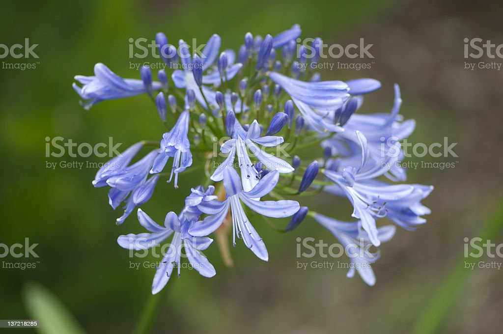 Blue Agapanthus / African Lily stock photo