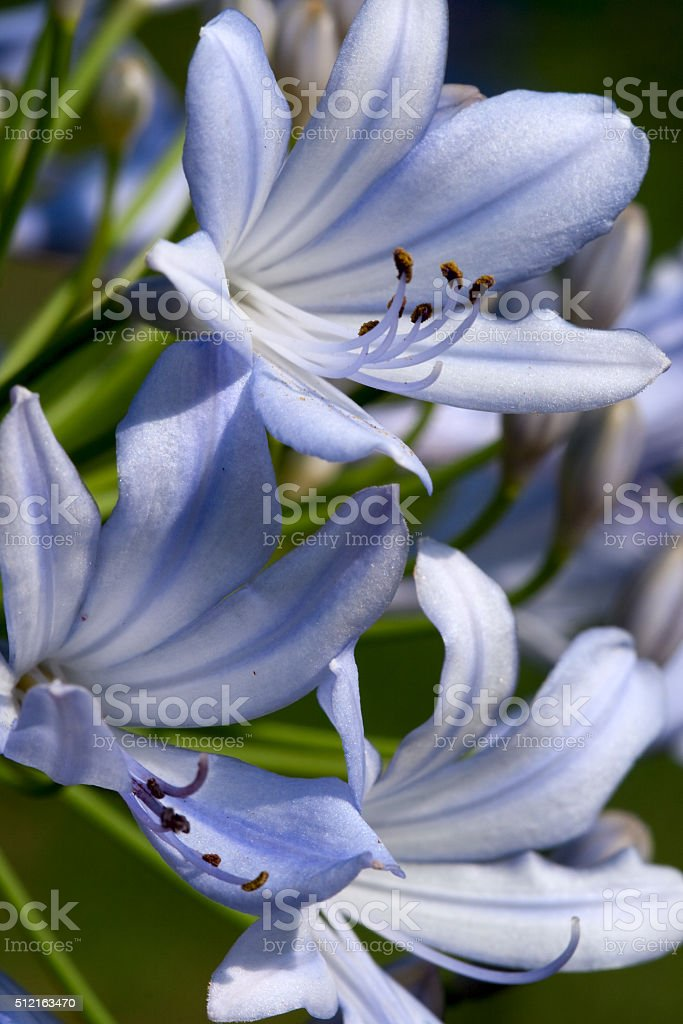 Blue Agapanthus Blossoms royalty-free stock photo