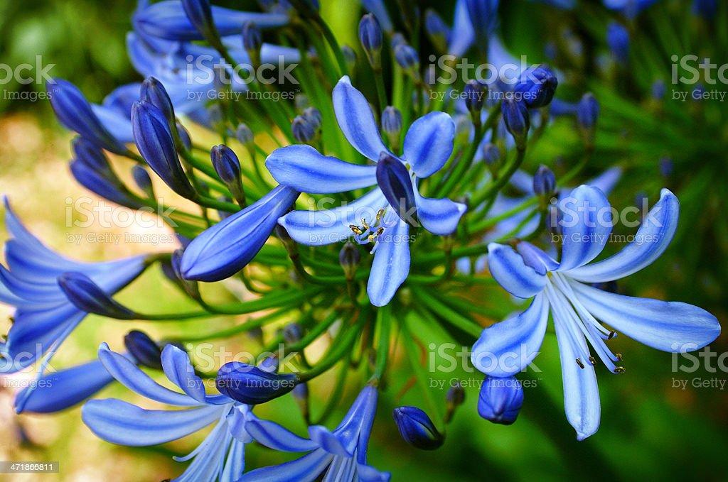 Blue Agapanthus stock photo
