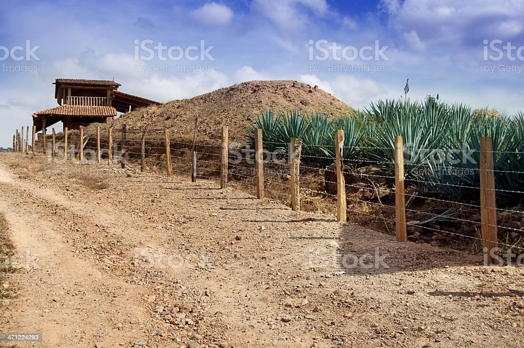 Blue Agave Cactus at Small Tequila Distillery stock photo
