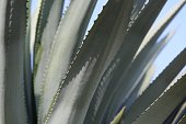Blue Agave, Close Up