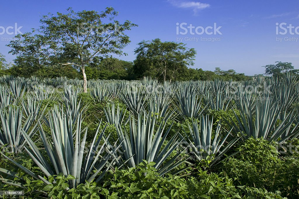 Blue Agave Farm stock photo