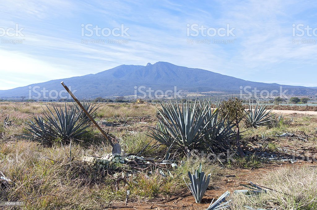 Blue Agave Harvesting Fields and Tequila Volcano stock photo