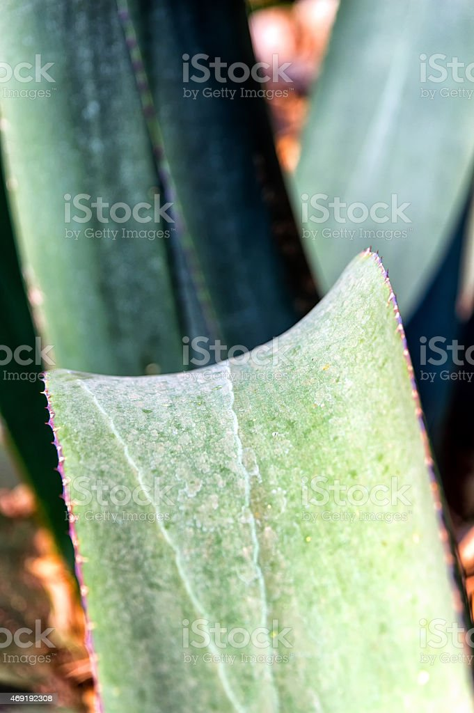 Blue Agave leaves stock photo
