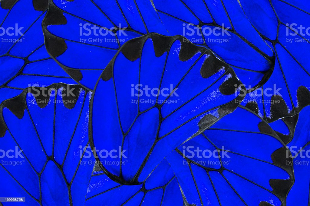 Blue and black background of Golden Birdwing butterfly stock photo