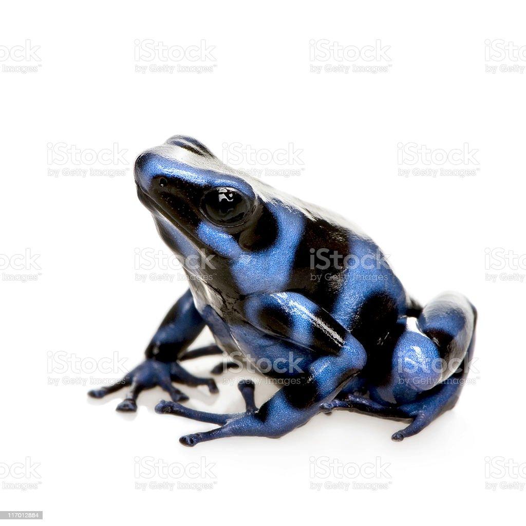 blue and Black Poison Dart Frog - Dendrobates auratus stock photo