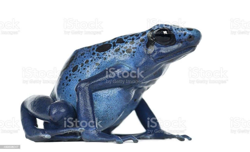 Blue and Black Poison Dart Frog, Dendrobates azureus stock photo