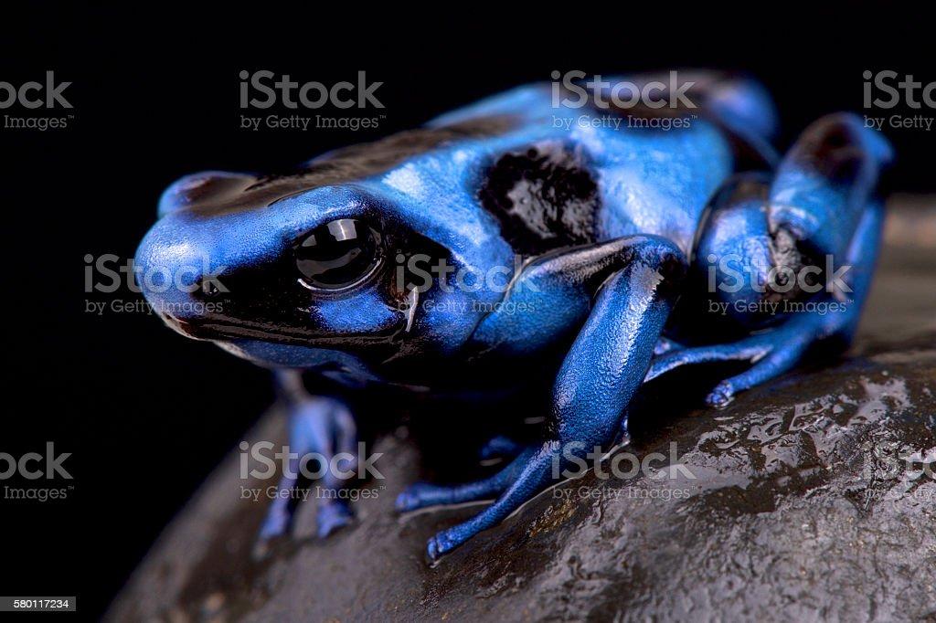 Blue and black poison frog (Dendrobates auratus) stock photo