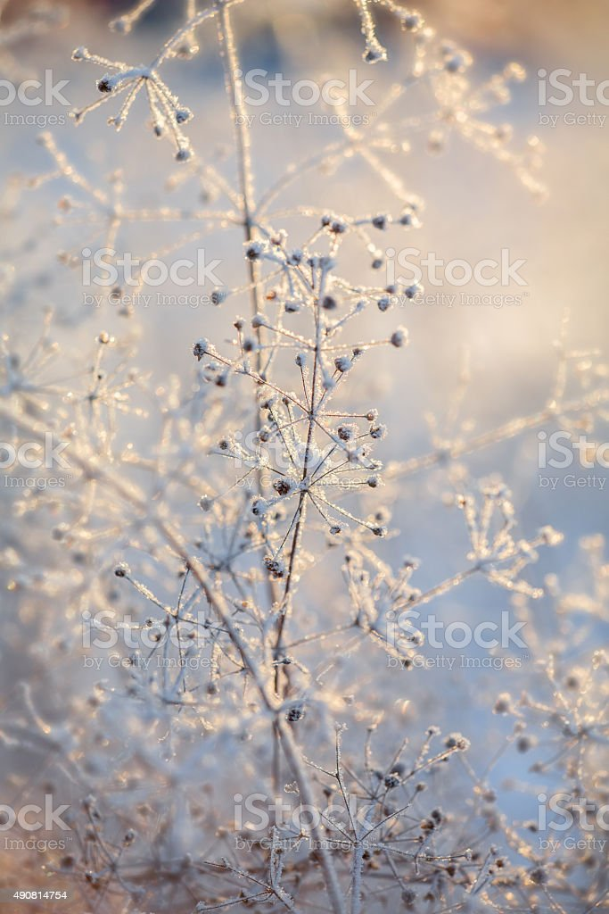 blue and brown dried frozen plants at sunset stock photo