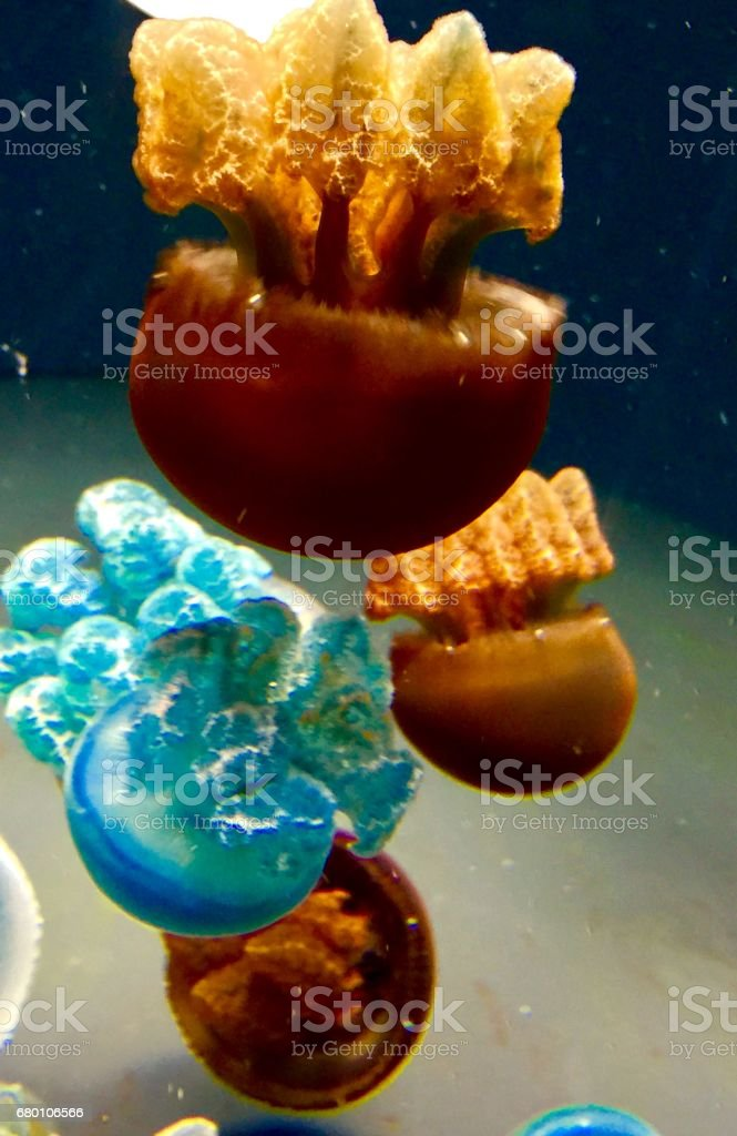 Blue and brown White Spotted Jellyfish or Phyllorhiza Punctata stock photo