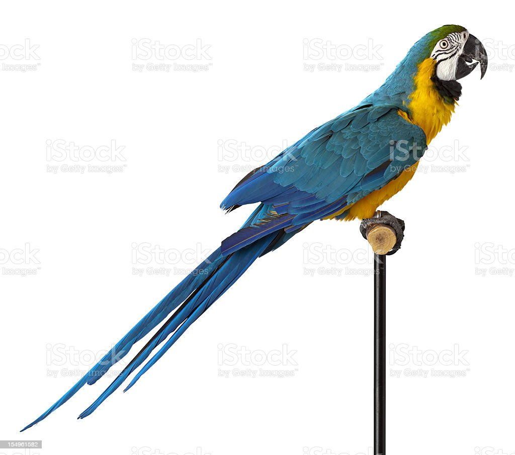 Blue and Glod Macaw Parrot - Close-up. stock photo