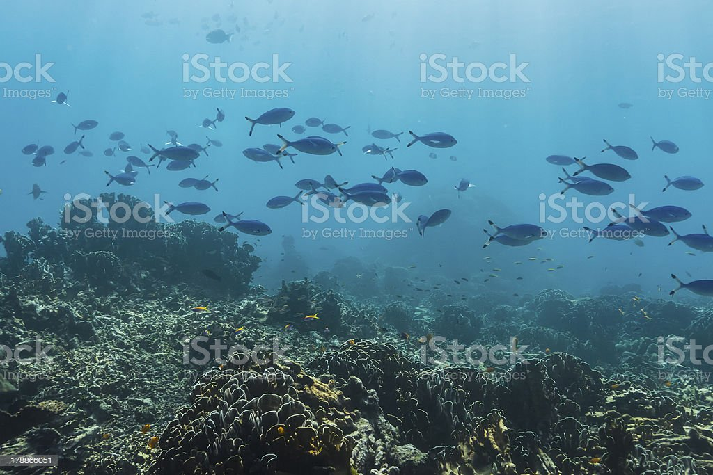 Blue and gold fusilier  at Similan island royalty-free stock photo