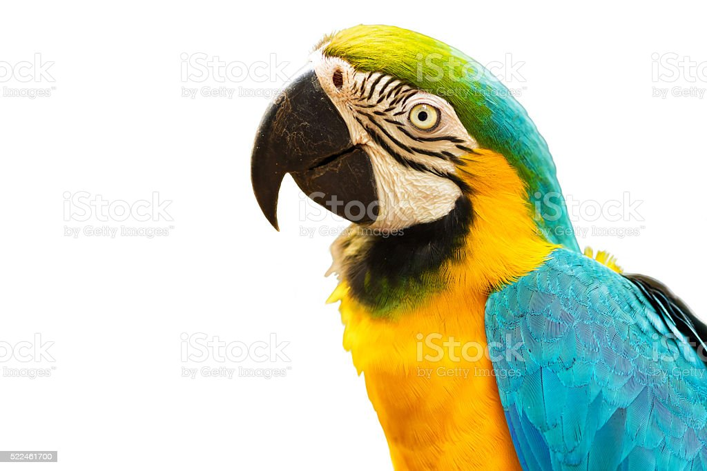 Blue and Gold Macaw Bird Isolated on White Background stock photo