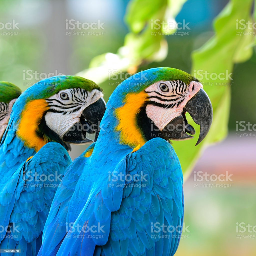 Blue and Gold macaw birds sitting together stock photo
