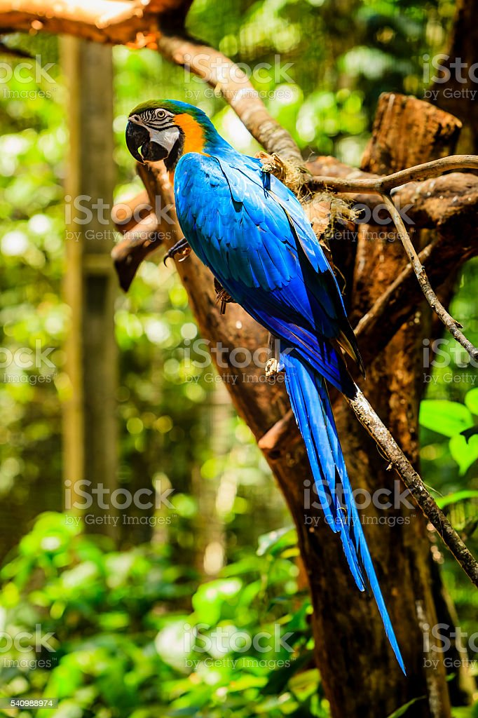 Blue and Gold Macaw in Brazilian rainforest. stock photo