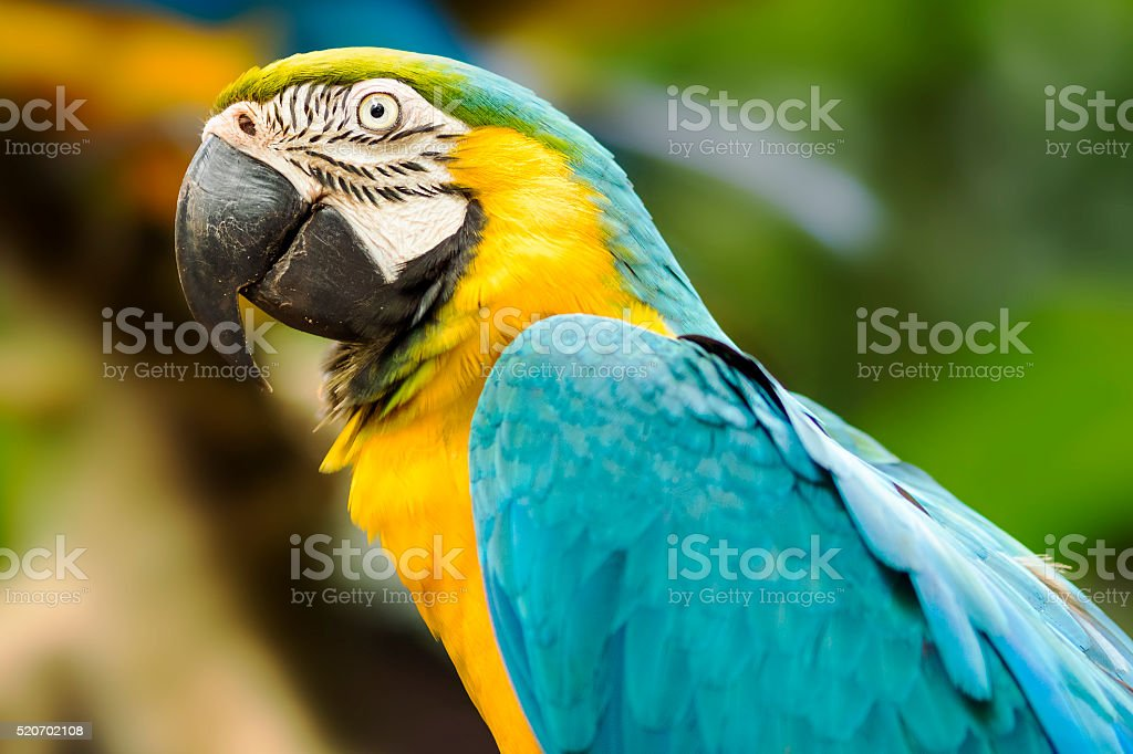 Blue and Gold Macaw in Natural Setting stock photo