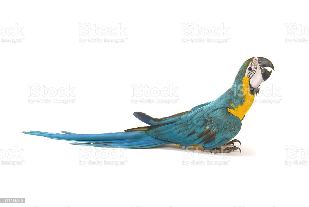 Blue and Gold Macaw on a white background royalty-free stock photo