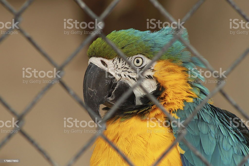 Blue and Gold Macaw royalty-free stock photo