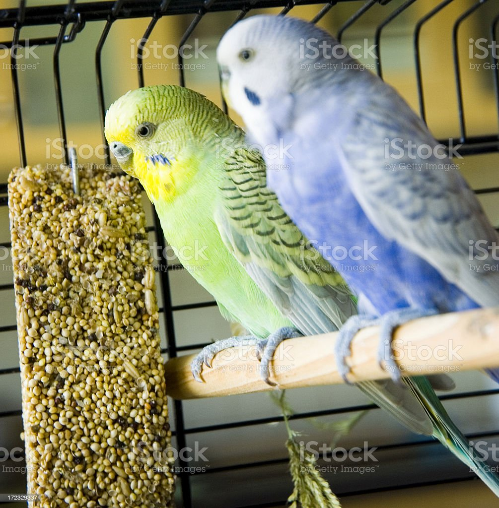 Blue and green budgies in a cage stock photo