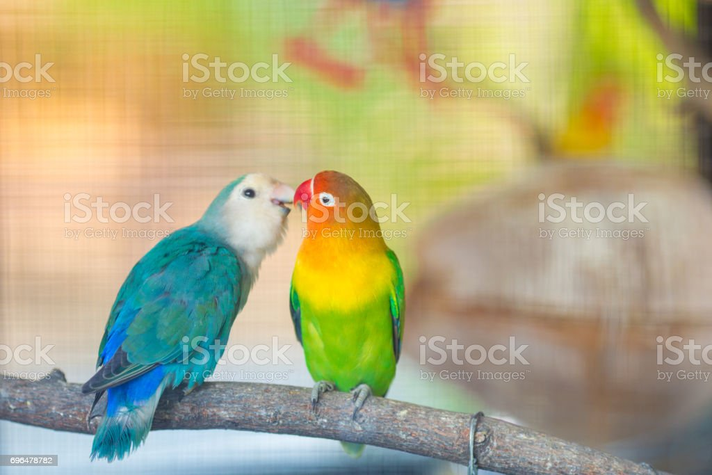 Blue and green Lovebird parrots sitting together on a tree branch. stock photo