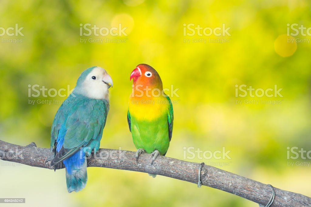Blue and green Lovebird parrots sitting together on a tree branch.Sunshine light evening stock photo