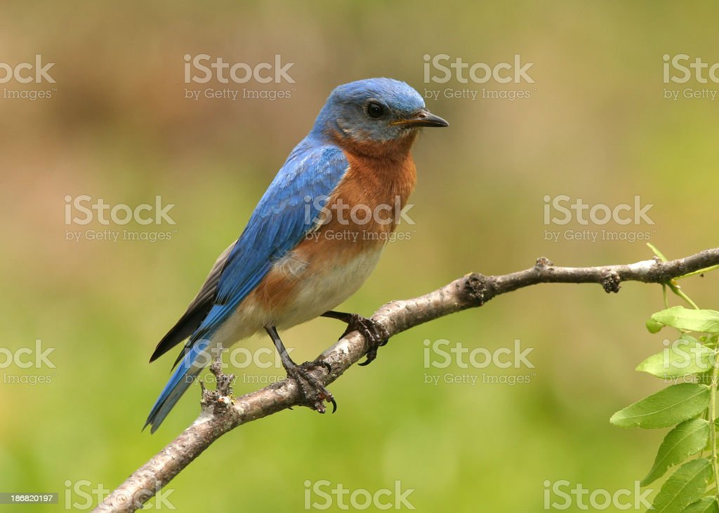 Blue and orange Eastern bluebird on a branch stock photo
