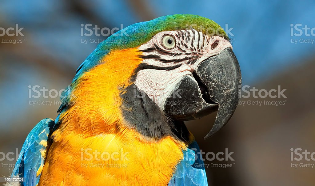 Blue and orange parrot looking royalty-free stock photo