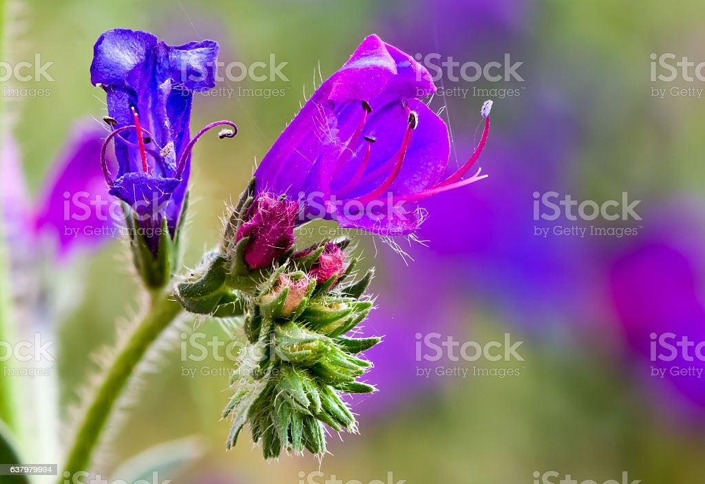 Blue and Pink Flowers on Blue Weed Plant stock photo
