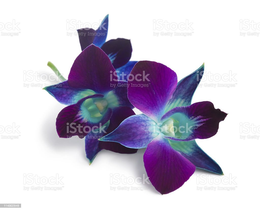Blue and purple orchids isolated on white background stock photo