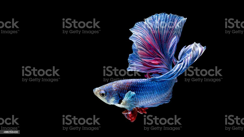 Blue and red siamese fighting fish isolated on black stock photo