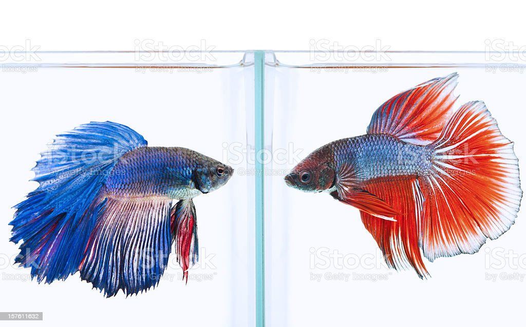 blue and red siamese fighting fish stock photo