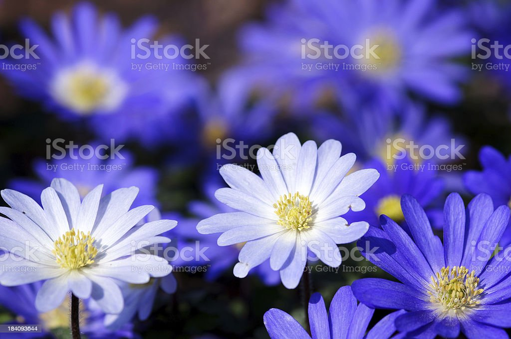 Blue and white anemones royalty-free stock photo