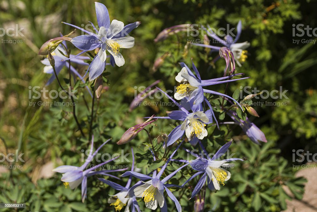 Blue and White Columbine Flowers Cedar Breaks National Monument Utah stock photo