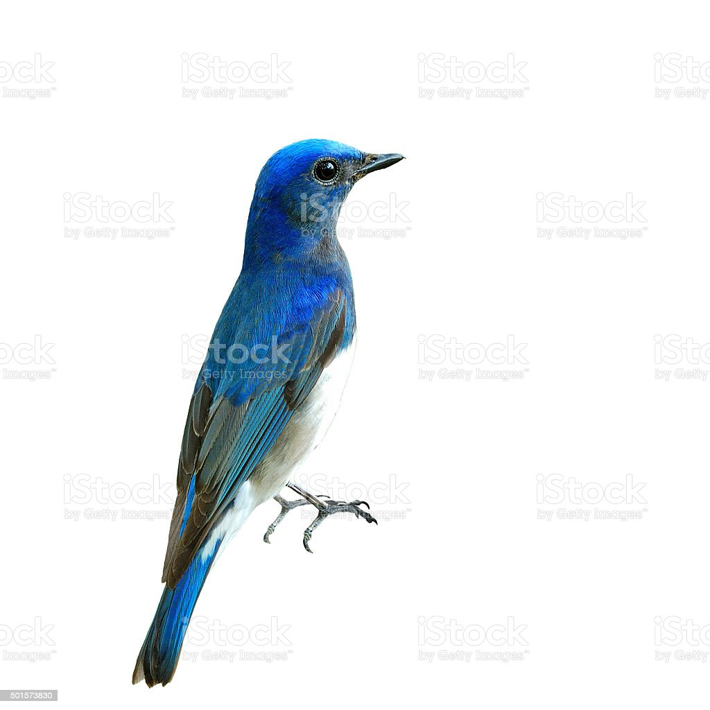 Blue and White Flycatcher stock photo