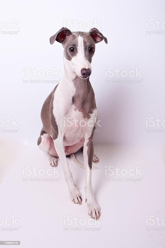 Blue and White Italian Greyhound stock photo