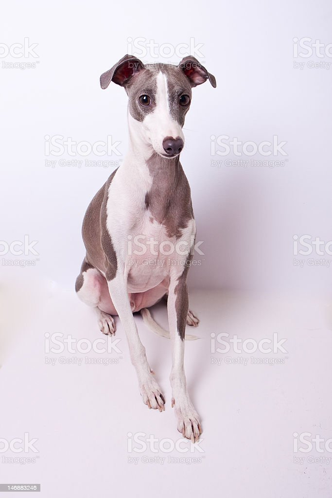 Blue and White Italian Greyhound stock photo