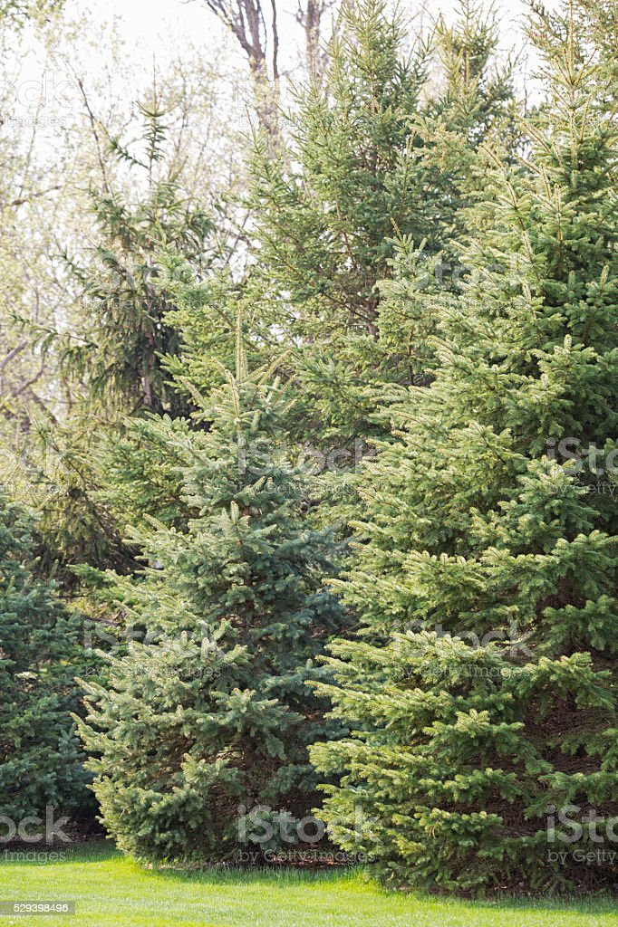 Blue and White Spruce Trees in a Row stock photo