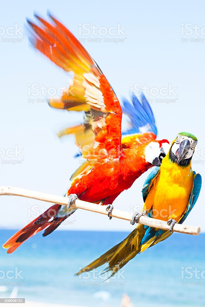 Blue and yellow and red Macaw stock photo