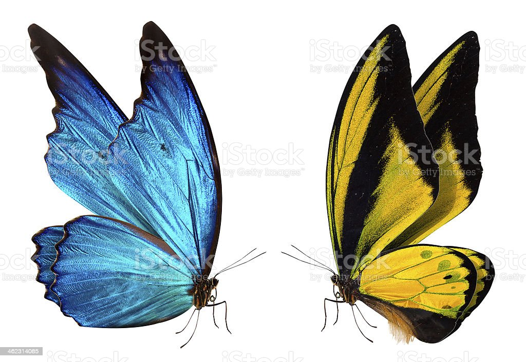 A blue and yellow butterfly on a white background stock photo