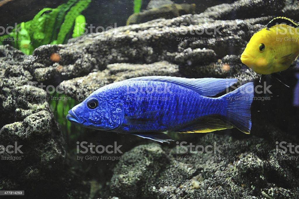 Niebieski i żółty ryby w Akwarium zbiór zdjęć royalty-free