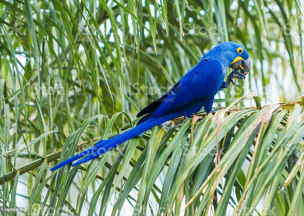 Blue and yellow hyacinthe macaw head in a tropical background stock photo