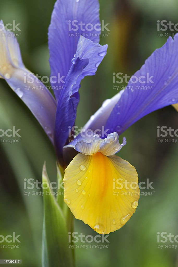 Blue and Yellow Iris royalty-free stock photo