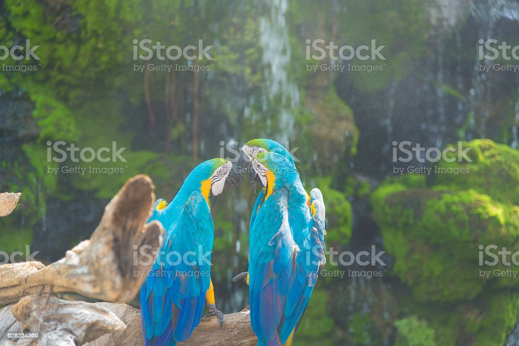 Blue and yellow Macaw bird clings to a tree branch, stock photo