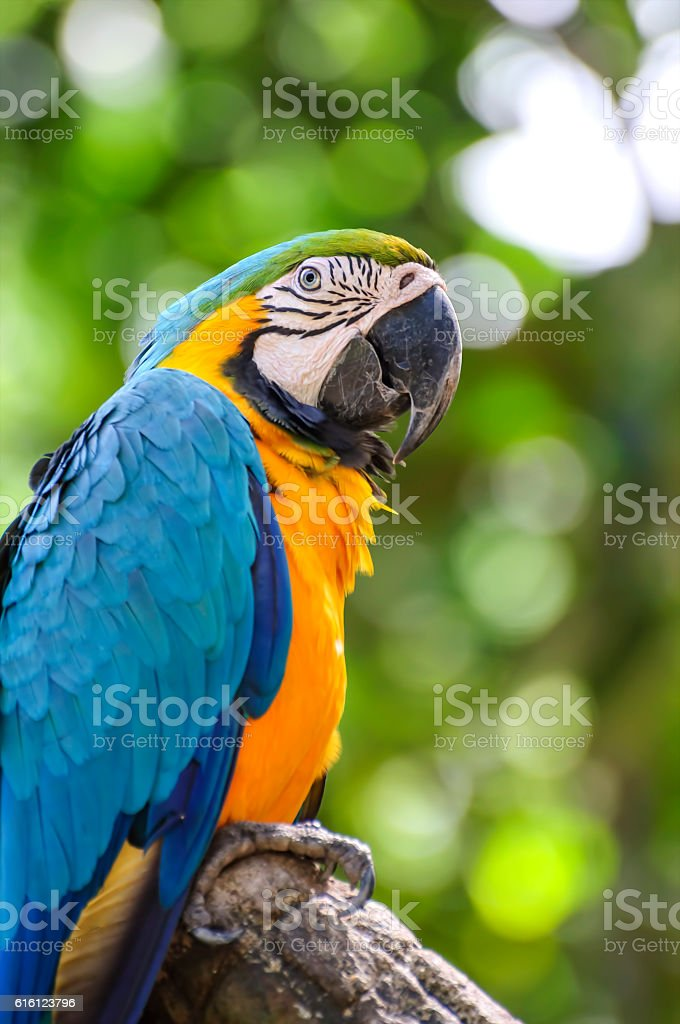 Blue and yellow macaw closeup stock photo