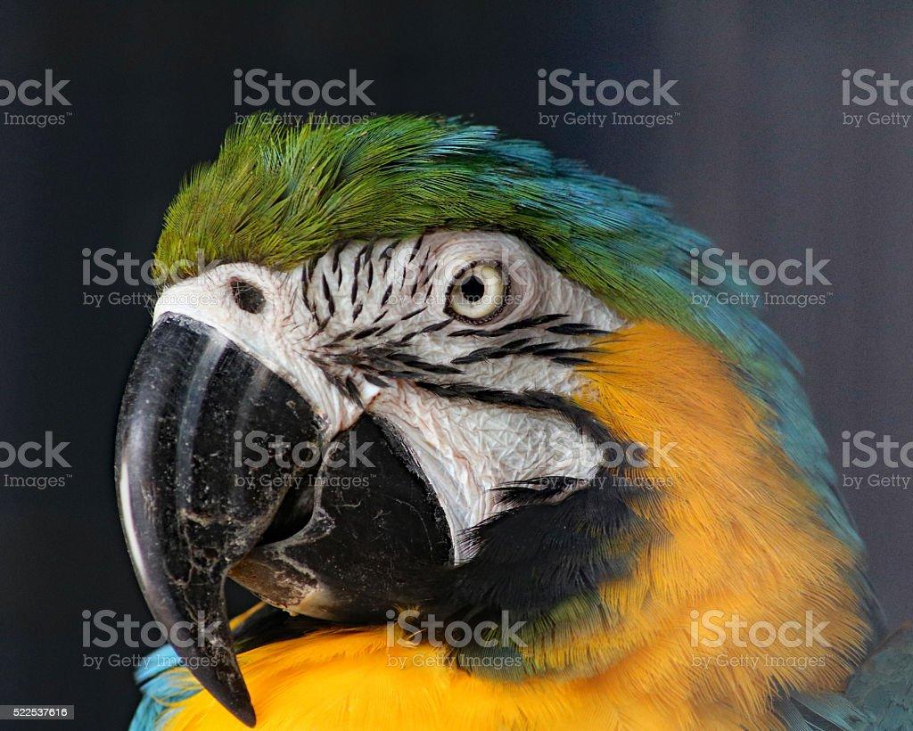 Ara bleu et jaune en vue de profil photo libre de droits