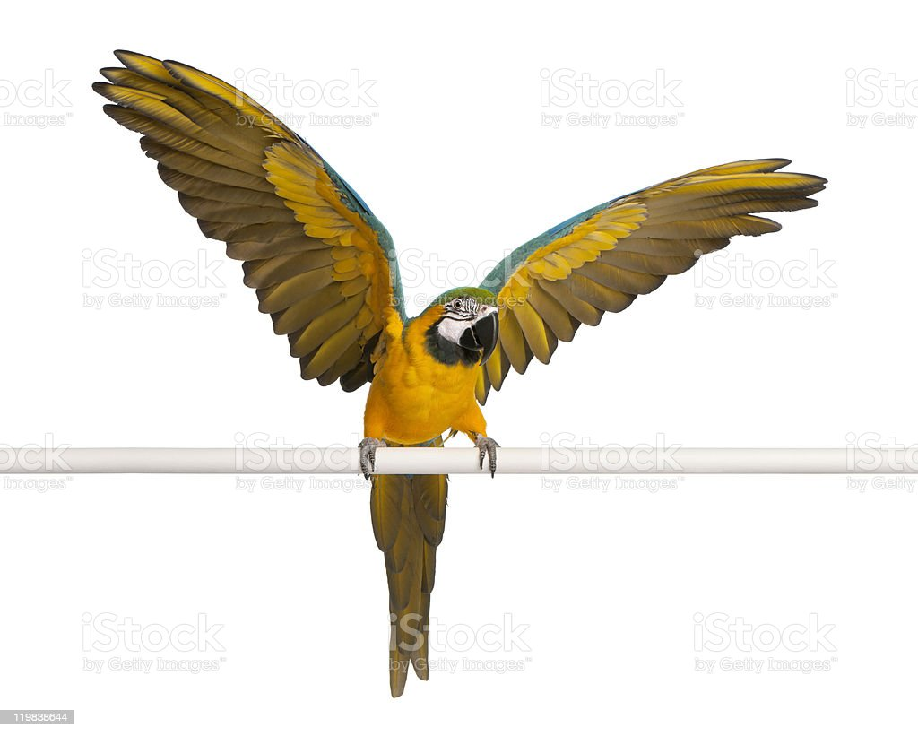 Blue and Yellow Macaw, flapping wings, white background. stock photo